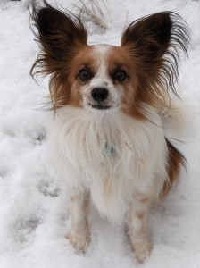 Higgins, Jenn's now one-eyed Papillon