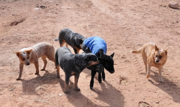 ranch life, gwen shepperson, calving, cattle dogs